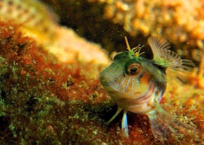 BLENNY army tank